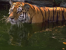 British rule in India shows up in tiger genes   Nature and Culture   Scoop.it