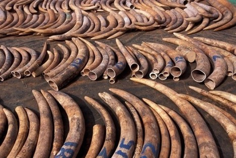 Game On! UN Takes The Fight To The Poachers | Wildlife Trafficking: Who Does it? Allows it? | Scoop.it
