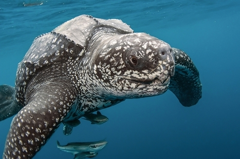 Leatherback Sea Turtles Better Understood Thanks to GPS Tracking Study - Guardian Liberty Voice | Space Weather | Scoop.it