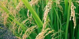 African Rice Sequenced: A Genome To Feed The World | Science 2.0 | CALS in the News | Scoop.it