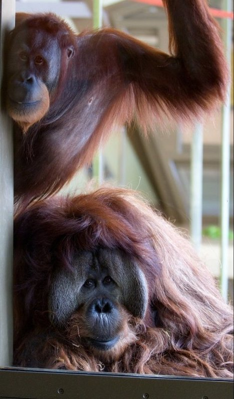Up Close With a Very Smart Orangutan at the Indianapolis Zoo   animals and prosocial capacities   Scoop.it