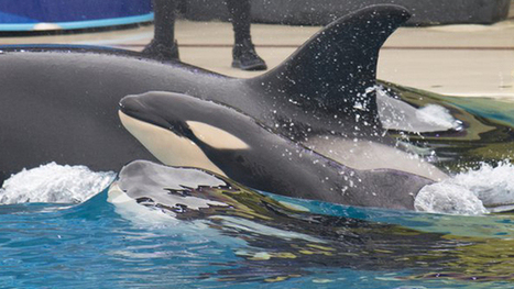 SeaWorld says it has to keep orcas in captivity to save them | GMOs & FOOD, WATER & SOIL MATTERS | Scoop.it