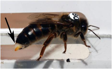 Les pesticides néonicotinoïdes affectent gravement les reines | EntomoNews | Scoop.it