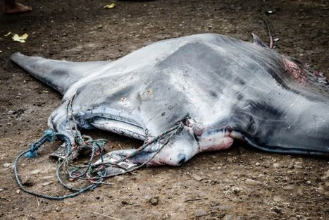 Why #MantaRays are hunted & Indonesia's efforts to implement new laws protecting them | Rescue our Ocean's & it's species from Man's Pollution! | Scoop.it
