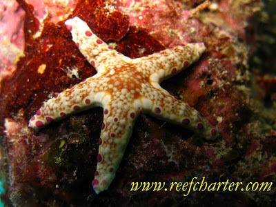 Starfish | All about water, the oceans, environmental issues | Scoop.it