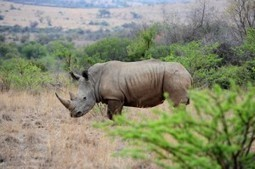 Even 60 000 legal horns not enough to supply Asian market | What's Happening to Africa's Rhino? | Scoop.it