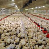 Des antibiotiques à risques encore utilisés dans les élevages américains | Génération en action | Scoop.it