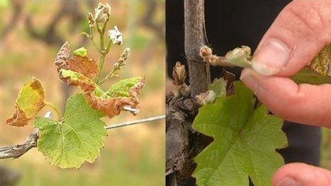 L'épisode de gel aura-t-il des conséquences sur le vignoble de Loire-Atlantique ? - France 3 Pays de la Loire   Agriculture en Pays de la Loire   Scoop.it