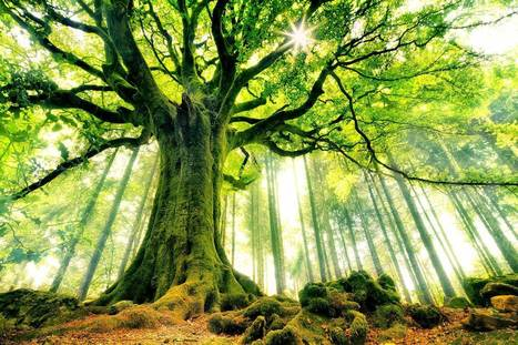 This particular tree is a legend by himself. He even has a name: Ponthus' beech. He lives in the Brocéliande forest, in Bretagne, France | Harmony Nature | Scoop.it
