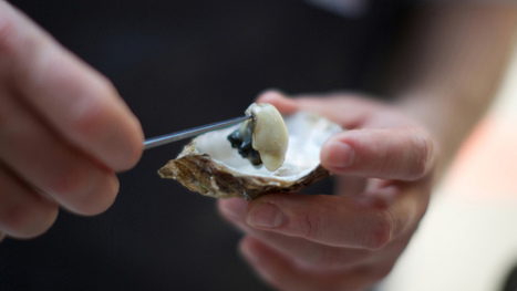 Can toilets revive New York City's oyster population? | Lauri's Environment Scope | Scoop.it
