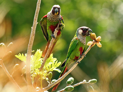 New population of critically endangered parakeets found in Brazil | Wildlife Conservation and Biodiversity | Scoop.it