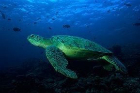 Why are Sea Turtles Endangered   From Fashion To Nature...And Back!   Scoop.it