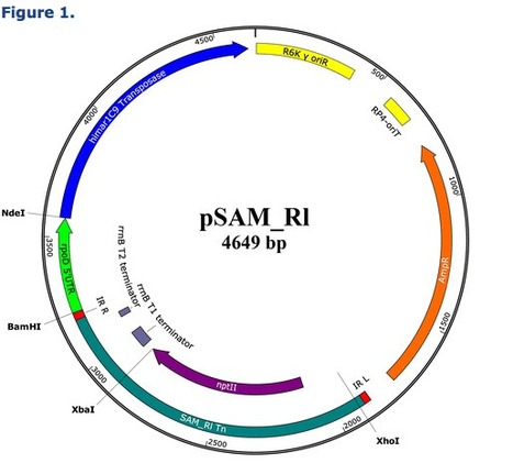 Construction of a mariner-based transposon vector for use in insertion sequence mutagenesis in selected members of the Rhizobiaceae | Genetics of agriculturally significant micro organisms. | Scoop.it