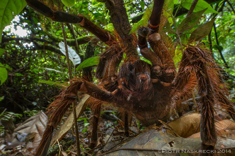 Do Amazon birdeater spiders really eat birds? | Rainforest EXPLORER:  News & Notes | Scoop.it