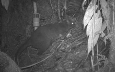 New species of mammal 'uncovered in Papua New Guinea' forest, scientists say | Paneco Press: Species Watch | Scoop.it