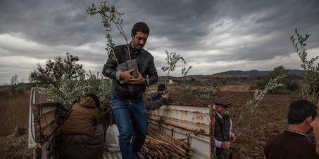La Turquie rase ses oliveraies centenaires pour contruire des centrales à charbon | The Blog's Revue by OlivierSC | Scoop.it