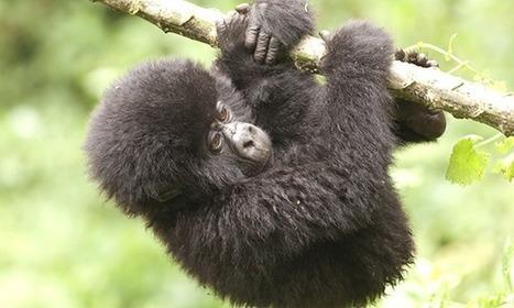 African gorillas are under threat from oil survey | Science Fields | Scoop.it
