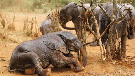 More evidence that Chinese demand for ivory is destroying African elephant herds - Quartz | Yoga, Meditation and Spirituality | Scoop.it