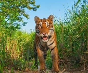 Latest Desktop Wallpapers, Backgrounds Images, Celebrities Photos: Top Best Tiger Desktop Photos, Free Bengal Tiger HD Wallpapers | Pepsi IPL 7 Schedule, IPL 2014 Squad, IPL Live Video, IPL 7 Point Table | Scoop.it