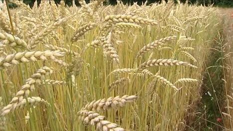 Rennes : les chercheurs de l'Inra inventent les blés bios de demain - France 3 Bretagne | Chimie verte et agroécologie | Scoop.it