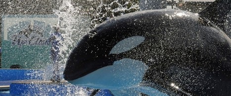 The Truth About 'The Truth About Blackfish'.   #OrcaAvengers   Scoop.it