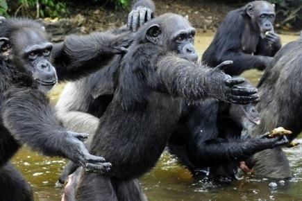 Les chimpanzés préfèrent coopérer qu'être en compétition - Magazine GoodPlanet Info | Biodiversité | Scoop.it