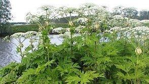 Alerte à la berce dans le Vexin, une plante invasive aux sucs toxiques - France 3 Paris Ile-de-France | Environnement, paysage et biodiversité | Scoop.it