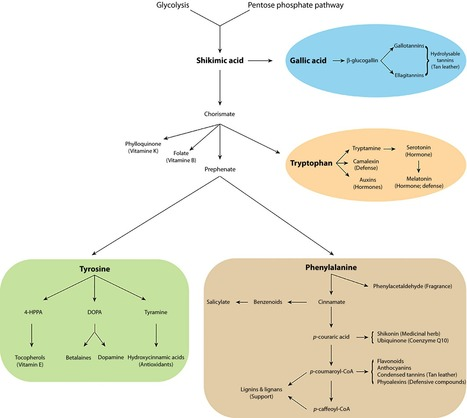 The walnut (Juglans regia) genome sequence reveals diversity in genes coding for the biosynthesis of non-structural polyphenols | MycorWeb Plant-Microbe Interactions | Scoop.it