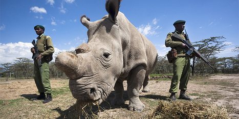 Welcome to the wild world of rhino conservation | Sustainability Science | Scoop.it