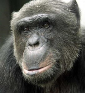 In Historic Ruling, Court Recognizes Two Chimps as Legal Persons | Earth in Transition | Human Evolution | Scoop.it