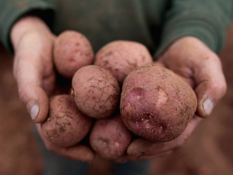 Potatoes could be off the menu as crop pests threaten UK - The Independent   Communication and citizen sciences on pests and invasive alien species   Scoop.it