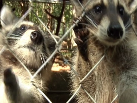 New rule about rehabilitated wildlife has Many Upset in Alabama | Outdoors Alabama | Scoop.it