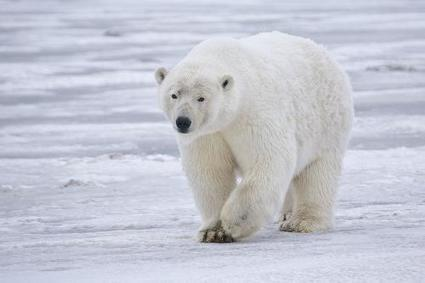 Study shows cold climate animals may suffer as global temperatures rise | GarryRogers NatCon News | Scoop.it