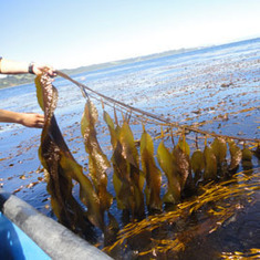 Genetically Engineered Stomach Microbe Converts Seaweed into Ethanol: Scientific American | Smalley's Big Problem | Scoop.it