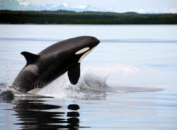 Animals are not property who we own: The case of Morgan, a killer whale | Animals R Us | Scoop.it
