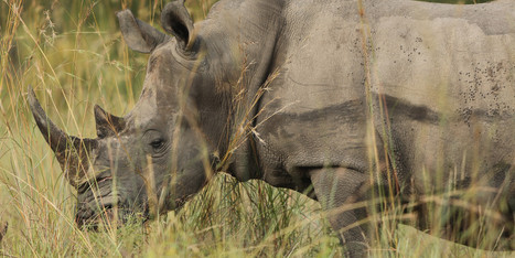 South African Rhinos May Be Evacuated Due To Rampant Poaching - Huffington Post | Kruger & African Wildlife | Scoop.it