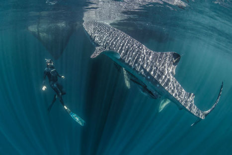 6,000 Feet Under: Whale Sharks' Deepest Dives Detected | Soggy Science | Scoop.it