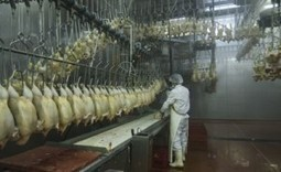 USDA Misleads About New Poultry Testing Requirements | Food Safety News | School | Scoop.it