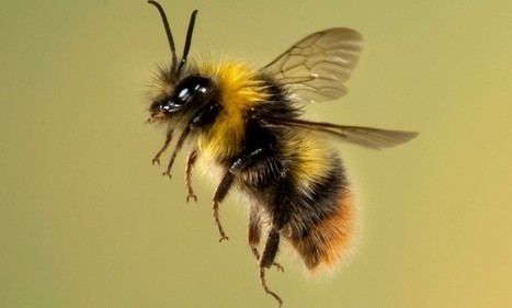 BBSRC funded: Plight of the shrinking bees: Experts suggest widely used pesticide could be responsible for smaller insects | BIOSCIENCE NEWS | Scoop.it