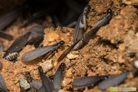 Termites en France : leur biologie et comment s'en débarrasser | Variétés entomologiques | Scoop.it