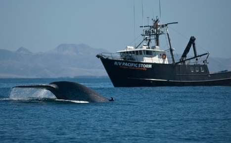 Blue Whale and Endangered: Rare Whale Seen Off Maine : News : Nature World News | All about water, the oceans, environmental issues | Scoop.it