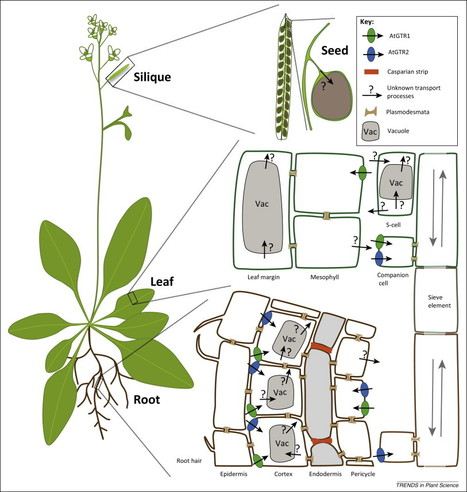 Transport of defense compounds from source to sink: lessons learned from glucosinolates: Trends in Plant Science | Effectors and Plant Immunity | Scoop.it