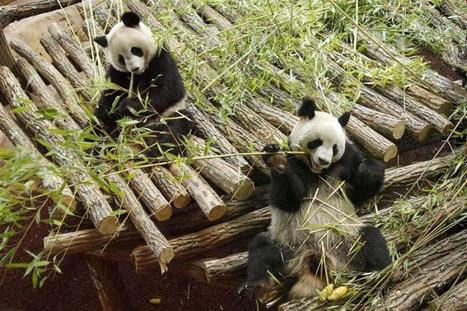 Huan Huan, panda du zoo de Beauval, est-elle enceinte?   Biodiversité   Scoop.it