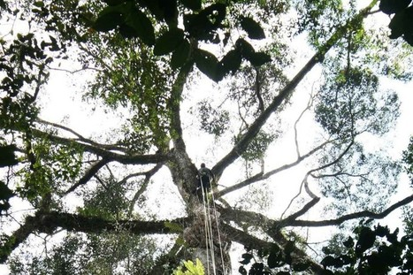 Tallest known tropical tree discovered in Malaysia's lost world | QTRA | Scoop.it