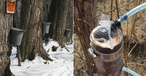 Started From The Bottom: The Discovery That Could Upend The Maple Syrup Industry | Erba Volant - Applied Plant Science | Scoop.it
