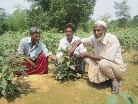 Bt brinjal in Bangladesh - the true story | GM Rhetoric | Scoop.it