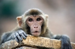 Monkey vaccine hints at how to stop HIV : Nature News & Comment | Virology News | Scoop.it