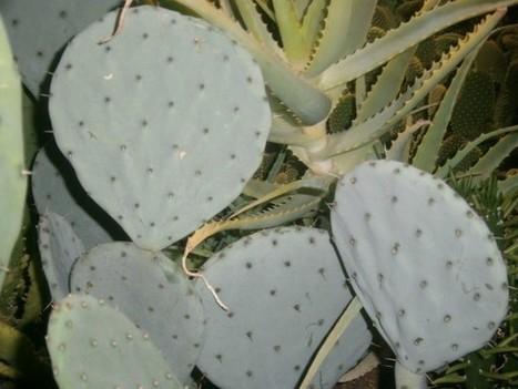 Opuntia robusta – Wheel Cactus, Silver Dollar Cactus, Dinner Plate Cactus   World of Succulents   Cacti (Cactus)   Scoop.it