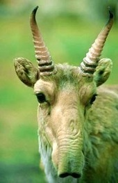 Strange Animals: Saiga antelope   Animals   Scoop.it