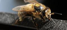 La substance active du Cruiser intoxique les abeilles même à faible dose | Terroir | Scoop.it